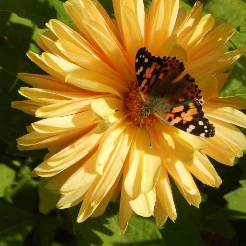 Painted Lady butterfly on dahlia.
