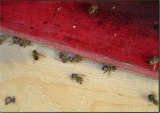 dead honey bees