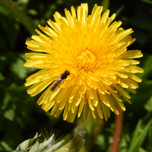 Dandelions can self-pollinate but are often visited by pollinating insects.