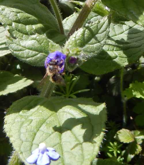 Being polylectic, buffish mining bees visit a wide range of flowers from assorted plant families and types.