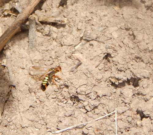 Nomad bees (Nomada) are cleptoparasites. They lay their eggs in the nests of the host species. The emerging Nomada grubs destroy the host's larvae and eggs.