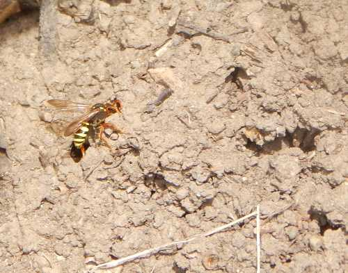 Gooden's nomad bee is leaving the nest burrow.