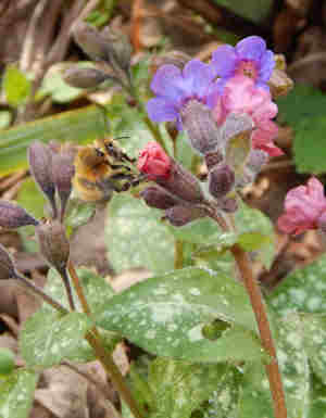 Hairy footed flower bees love lungwort - an important food source for bees early in spring.
