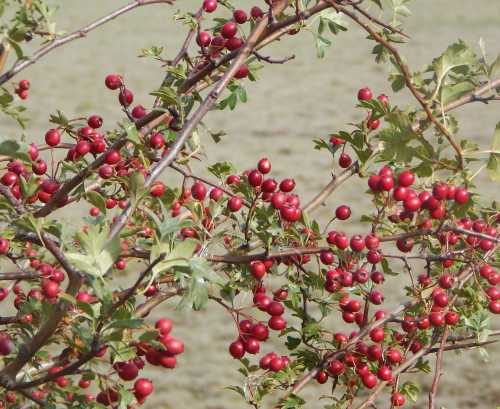 There are plenty of hawthorn berries in the area.