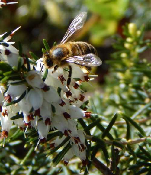 Honey bee foraging on heather.