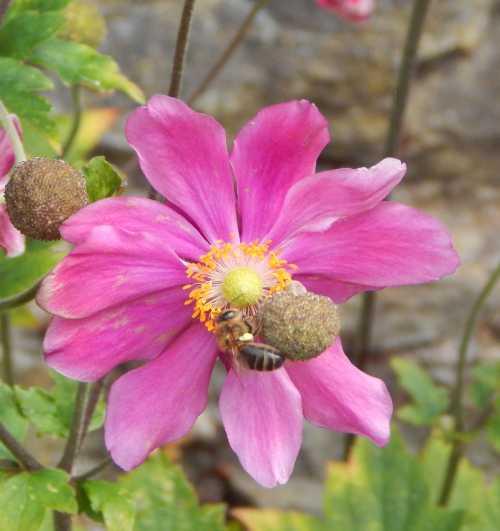 Honey bee on Japanese anemone.