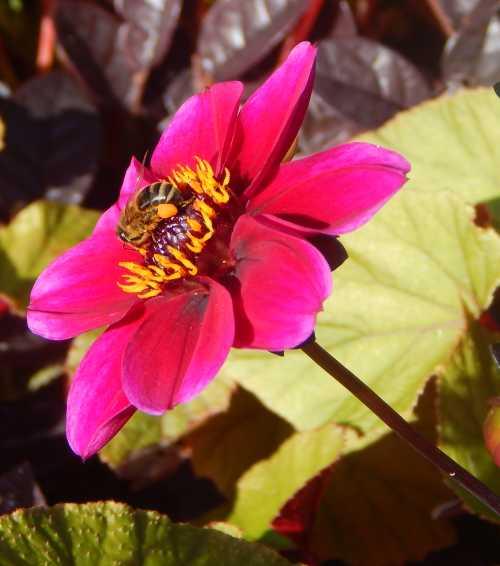 Honey bee foraging on dahlia flower