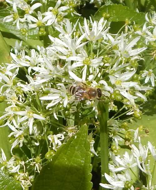 Honey bee foraging on wild garlic (Ramsons).