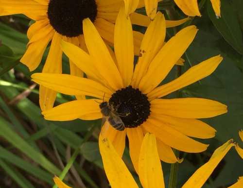 Honey bee on Rudbeckia.