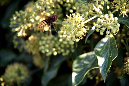 European hornet -Vespa crabro.