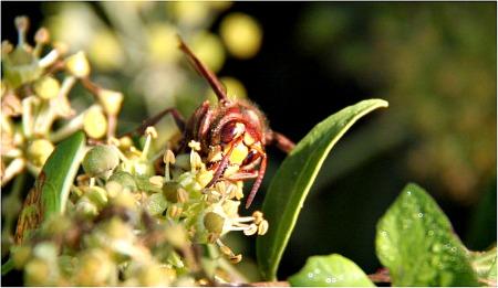 European hornet - Vespa orientalis