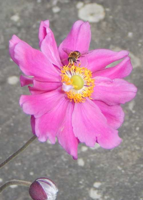 Other pollinators feed on Japanese anemones too, notably hover flies.