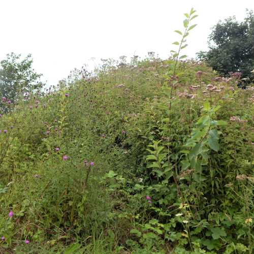 Wild verge with knapweed and other wildflowers