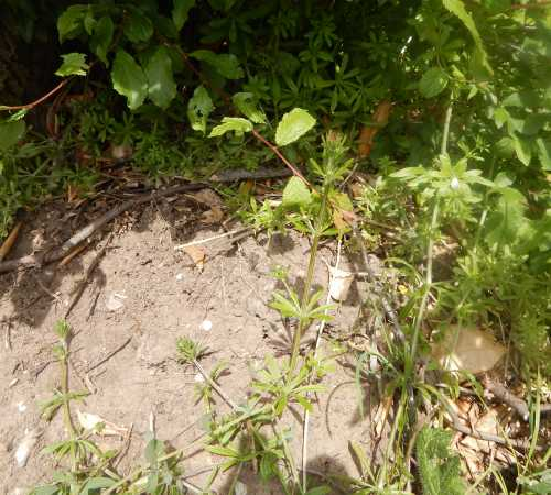 Location of buffish mining bee nest burrows. The bees had found a sunny bank with patches of bare earth.