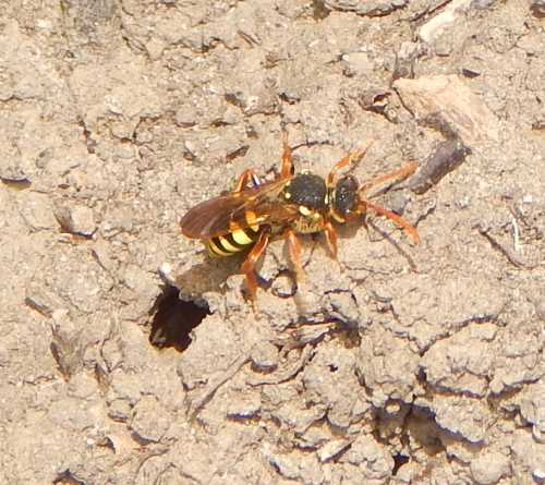 Gooden's nomad bee - Nomada goodeniana female - leaving the entrance of a host nest.