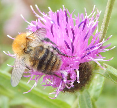 Common carder bumble bee foraging on knapweed.