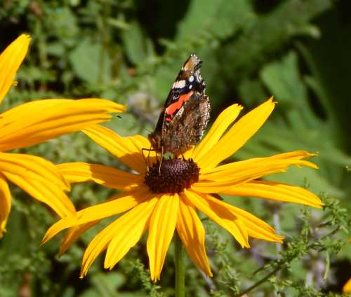 Red admiral butterfly on Rudbeckia.