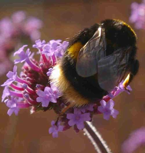 Bombus terrestris on Verbena