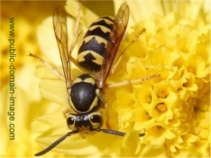 Do Wasps Pollinate Flowers