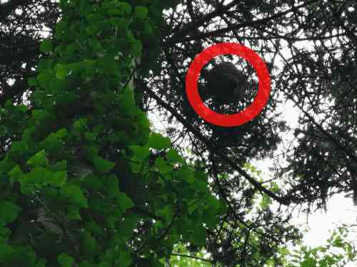 Wasp nest hanging from a tree branch.
