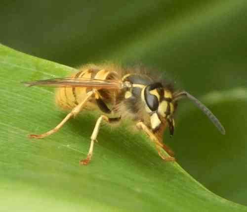 Wasps can be trained in a similar fashion to honey bees.