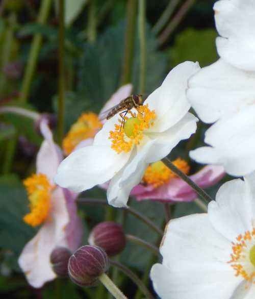 Hover fly on white Japanese anemone.