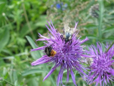 Bumble bee shared knapweed head with fly