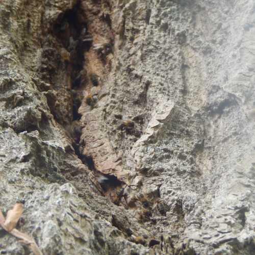 Wild honey bee nest in tree trunk.