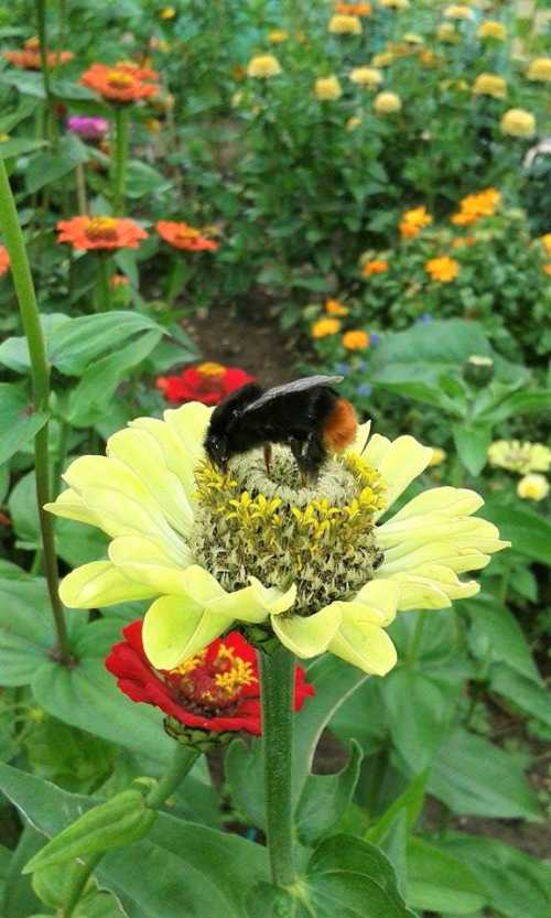 Red-tailed bumble bee - Bombus lapidaries on zinnia.