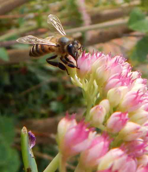 Open from mid to late August onwards – well into September and even October, ice plant is great for feeding hungry bees when other flowers are beginning to fade.