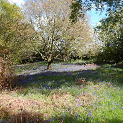 The habitat featured open wooded areas with English bluebells, a few dandelions and also nearby, hawthorn.