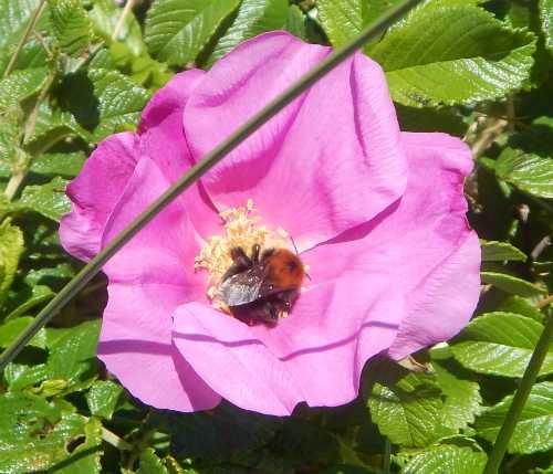 Tree bumble bee - Bombus hortorum on Rosa rugosa.
