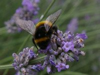 Bombus terrestris on lavendar