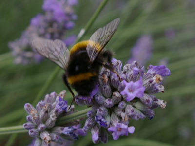 Bumble bee foraging on English lavender.