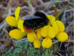 Red-tailed bumble bee foraging on bird's foot trefoil.