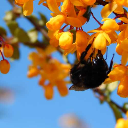 Bombus lapidarius - red-tailed bumble bee on Berberis.