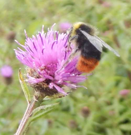 Red-tailed bumble bee - <I>Bombus lapidarius</I> - male foraging on knapweed.
