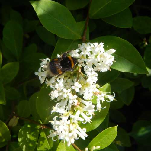 Buff-tailed bumble bee Bombus terrestris on common privet.