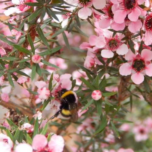 Bumble bee on manuka bush.