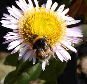 Even pots filled with plants such as Beach Aster (above), can help provide food for bees.