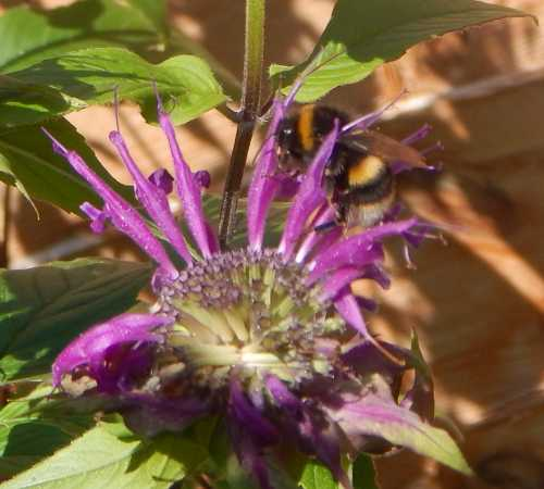 Bumble bees don't seem to mind visiting bee balm, even when the flower heads are ragged and scrappy looking.