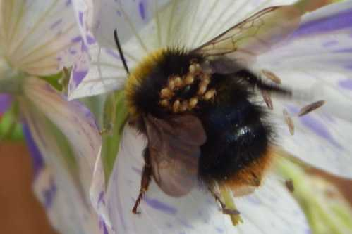 How to help a bumble bee with mites