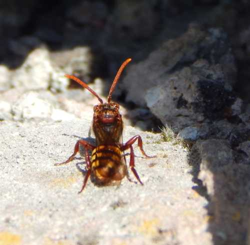 Flavous Nomad Bee - Nomada flava - female, lurks outside the nest of a potential target host.