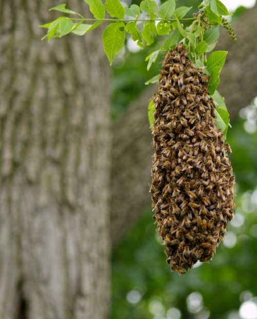 Honey bee (Apis mellifera) swarm.