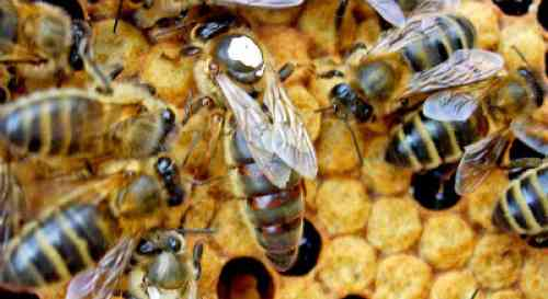 Honey bee queen: information and resources Queen Bee Size Compared To Normal Bee