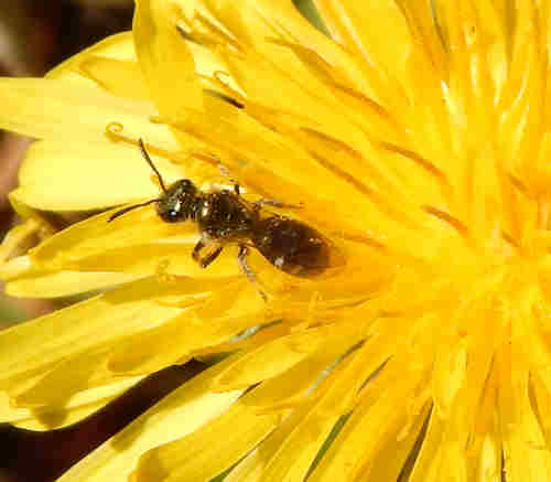 Smeathman's furrow bee.