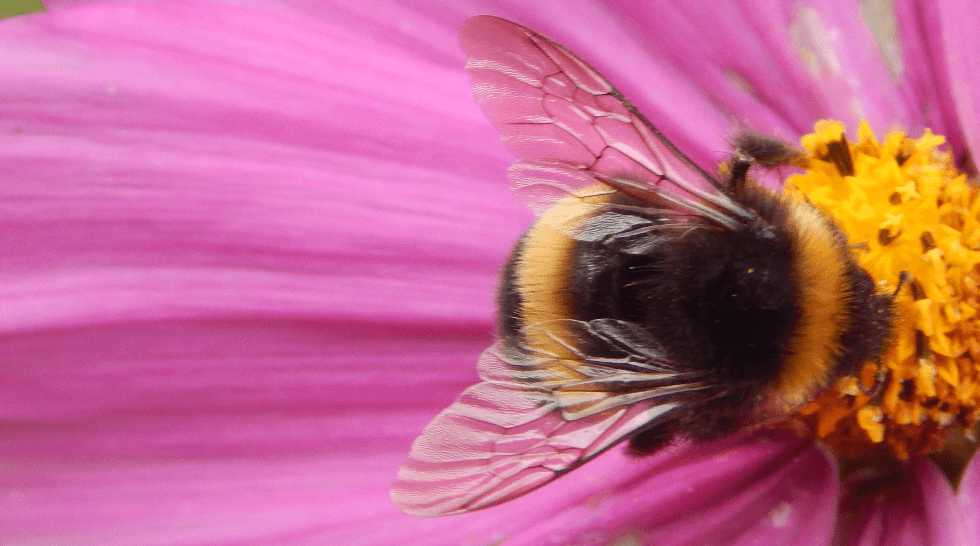 Bumble bee foraging on cosmos flower.