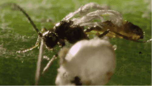 This parasitoid wasp helps to control farm crop pests.