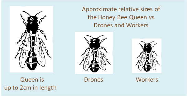 Drone bee vs worker bee - photo#25