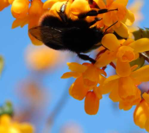 Red-tailed bumblebee (queen) on Berberis.